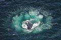 Humpback whale bubble net feeding Christin Khan NOAA.jpg