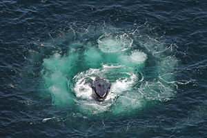 Atlantic: The Wildest Ocean on Earth - Humpback whale lunging in the center of a bubble net spiral
