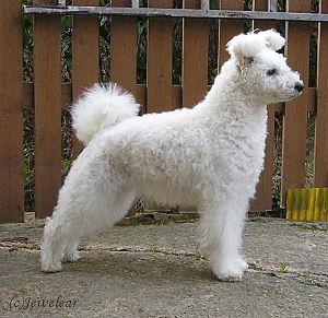 Pumi dog - Image: Hungarianpumi