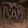Huntsman spider from Ecuador (15436640453).jpg