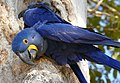 Hyacinth Macaws (Anodorhynchus hyacinthinus) on nest ... (48386202581).jpg
