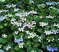 Hydrangea macrophylla5 ies.jpg