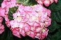 Hydrangea macrophylla 1zz.jpg