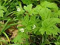 Hydrastis canadensis (Kowal garden).jpg