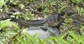 Hydrosaurus microlophus, female, Ujung Lamuru, Sulawesi.png
