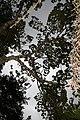 Hymenaea courbaril 15zz.jpg
