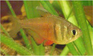 Flame tetra species of fish