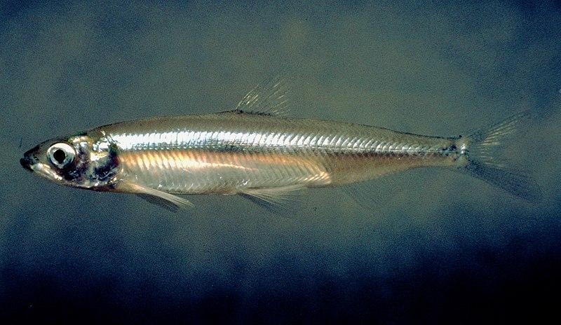 File:Hypomesus transpacificus.jpg