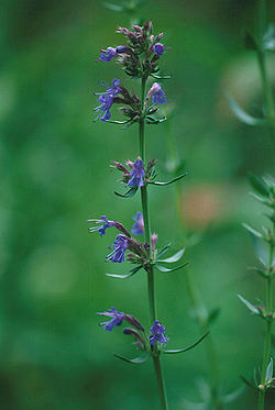 definition of hyssop