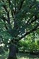 ID 1398 Quercus 0002.jpg