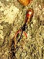 Ichneumon Wasp (34278540072).jpg