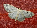 Idaea biselata - Small fan-footed wave - Малая пяденица точечная (26101200577).jpg