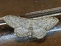 Idaea seriata - Small dusty wave - Малая пяденица крапчатая (40264089234).jpg
