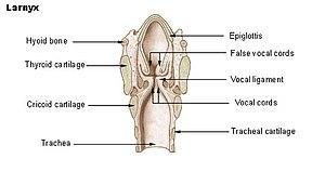 Laryngopharyngeal reflux - Image: Illu larynx