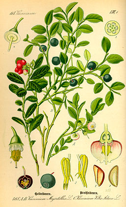 Illustration Vaccinium myrrtillus0