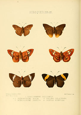 Illustrations of new species of exotic butterflies Chaetocneme &c.jpg