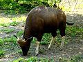Indian Bison(Gaur).jpg