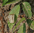 Indian Cabbage White (Pieris canidia) at Jayanti, Duars, West Bengal W Picture 088.jpg