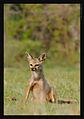 Indian Fox.jpg