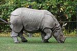 Indian Rhino (Rhinoceros unicornis)1 - Relic38.jpg