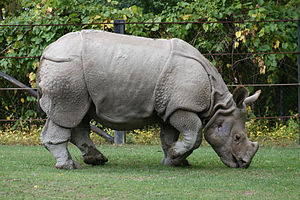 Indian Rhino (Rhinoceros unicornis) at the Met...