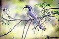 Indian grey hornbill foraging.jpg