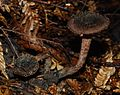 Inocybe calamistratoides 46253.jpg