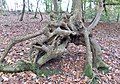 Inosculated elm, Lainshaw Woods, North Ayrshire, Scotland.jpg