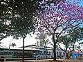 Ipê-roxo na Praça Doutor João Penido, Juiz de Fora MG.JPG