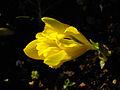 Iris danfordiae 1.JPG