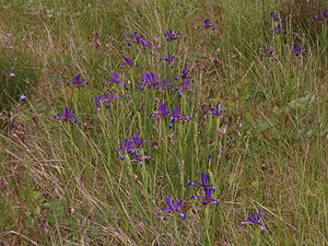 Iris spuria subsp. maritima - Iris spuria subsp. maritima growing in France