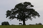 Isolated oak at Backley Holmes, New Forest - geograph.org.uk - 469673