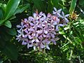 Ixora ¿ species ? (323895240).jpg