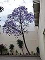 Jacaranda en el Museo Nacional de la Muerte, Aguascalientes 2.JPG