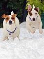 Jack Russell Terriers - Lola & Eddi.jpg