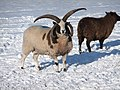 Jacob's Sheep (I'm the boss) - panoramio.jpg