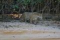 Jaguar (Panthera onca) female on the river bank ... (28917741840).jpg