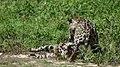 Jaguars (Panthera onca) catfight ... (28108157616).jpg
