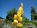 Jf2235Yellow Flowers Nicolas Philippinesfvf 09.JPG