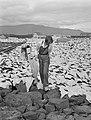 Jonge vrouw te midden van te drogen gelegde stokvis, Bestanddeelnr 190-0422.jpg