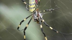 File:Joro Spider (Nephila clavata) feeding.webm
