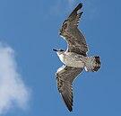 Junge Silbermöve im Flug bei Texel 01 2014.jpg