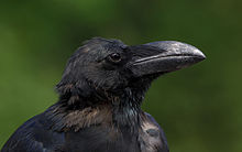 Jungle crow (Close-up of the head area), Tennōji Park, Osaka II.jpg