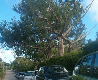 Juniperus bermudiana - Old-growth trees survive and prosper in a Paget garden.