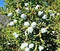 Juniperus osteosperma 3.jpg