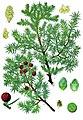Juniperus oxycedrus - Köhler–s Medizinal-Pflanzen-083.jpg