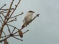 Juvenile Great Grey Shrike (Lanius excubitor), Sourbrodt, Belgium.jpg