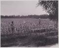 KITLV - 5419 - Kurkdjian - Soerabaja - Seven weeks old bibit plantation on the sugar company Ketanen at Mojokerto - 1916-04.tif