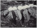 KITLV - 8660 - Kurkdjian - Soerabaja - Blooming Robusta coffee in Java - circa 1920.tif