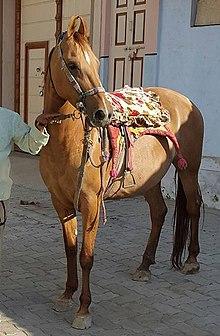Kathiawari (horse) - Wikipedia